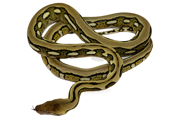 Tiger Reticulated Python