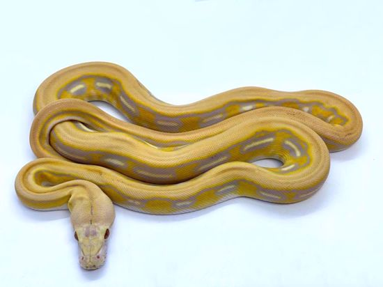 Picture of Purple Albino Tiger Male